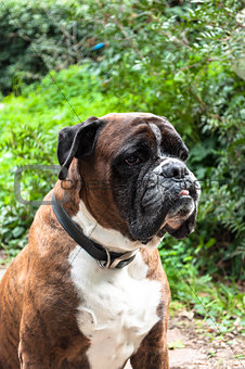 Portrait of nice german boxer dog