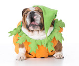 dog dressed like a pumpkin