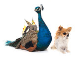 chihuahua, peacock and  calopsitte