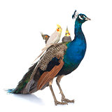 male blue peacock and  calopsitte
