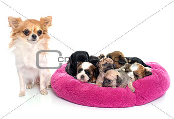 group of puppies and chihuahua