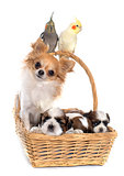 three cockatiel and dogs