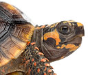 Close-up of a Red-footed tortoises (1,5 years old), Chelonoidis