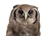 Close-up of a Verreaux's eagle-owl - Bubo lacteus (3 years old)