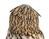 Rear view close-up of a Siberian Eagle Owl - Bubo bubo (3 years