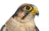 Close-up of a Lanner falcon - Falco biarmicus (7 years old) in f