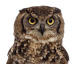 Close-up of a Spotted eagle-owl - Bubo africanus (4 years old) i