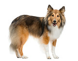 Shetland Sheepdog standing in front of a white background