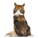 Rear view of a Shetland Sheepdog sitting in front of a white bac