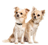Two Chihuahuas sitting in front of white background