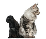 Maine Coon and Pug puppy in front of a white background