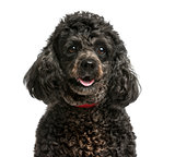 Close-up of a Poodle in front of a white background