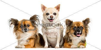 Three chihuahua in front of a white background