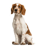 Welsh Springer Spaniel sitting in front of a white background