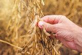 Farmer hand in harvest ready soy bean field