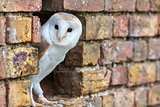 Barn Owl Looking Out of a Hole in a Wall
