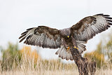 Buzzard Landing on a Tree Stump