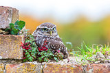 Little Owl Sitting On a Wall