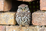Little Owl Looking Out of a Hole in a Wall