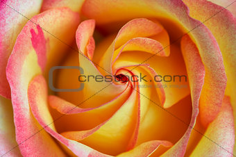 Abstract detail of the bloom rose
