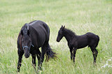 Mare With Black Colt On A Meadow