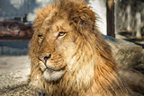 Lion Portrait, Color Image