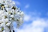 Spring white blossom against blue sky
