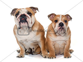 adult and puppy english bulldog