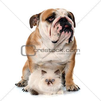 british longhair kitten and english bulldog