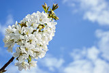 Spring white blossom of cherry tree against blue sky
