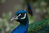 Close-up of peacock head looking at camera