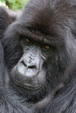 Close-up of silverback looking straight at camera