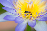 Bee on purple lotus flower