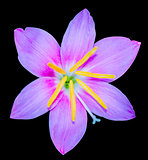 Zephyranthes spp. isolated