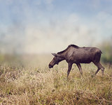 Female Moose Walking