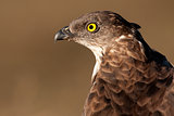 Portrait of European honey buzzard