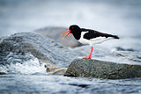 Oystercatcher sitting on a rock by the sea