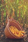 Harvested corn in wicker basket
