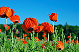 red poppies in Michigan field