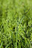 ear in a field of oats