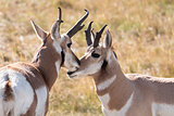 Two pronghorn in love