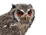 Close-up of a Northern white-faced owl - Ptilopsis leucotis (1 y