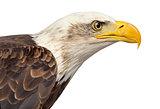 Close-up of a Bald eagle - Haliaeetus leucocephalus (12 years ol