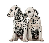 Two Dalmatian puppies sitting in front of a white background