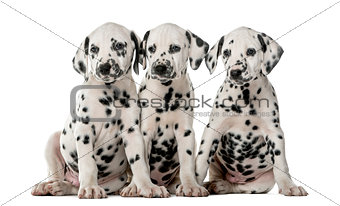 Three Dalmatian puppies sitting in front of a white background