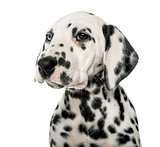 Close-up of a Dalmatian puppy in front of a white background