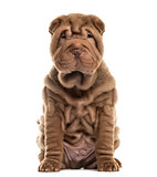 Sharpei sitting in front of a white background