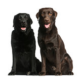Two Labradors sitting in front of a white background