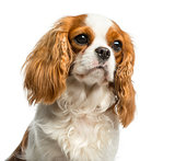 Close-up of a Cavalier King Charles Spaniel in front of a white