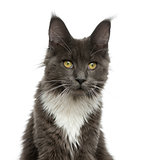 Close-up of a Maine Coon in front of a white background